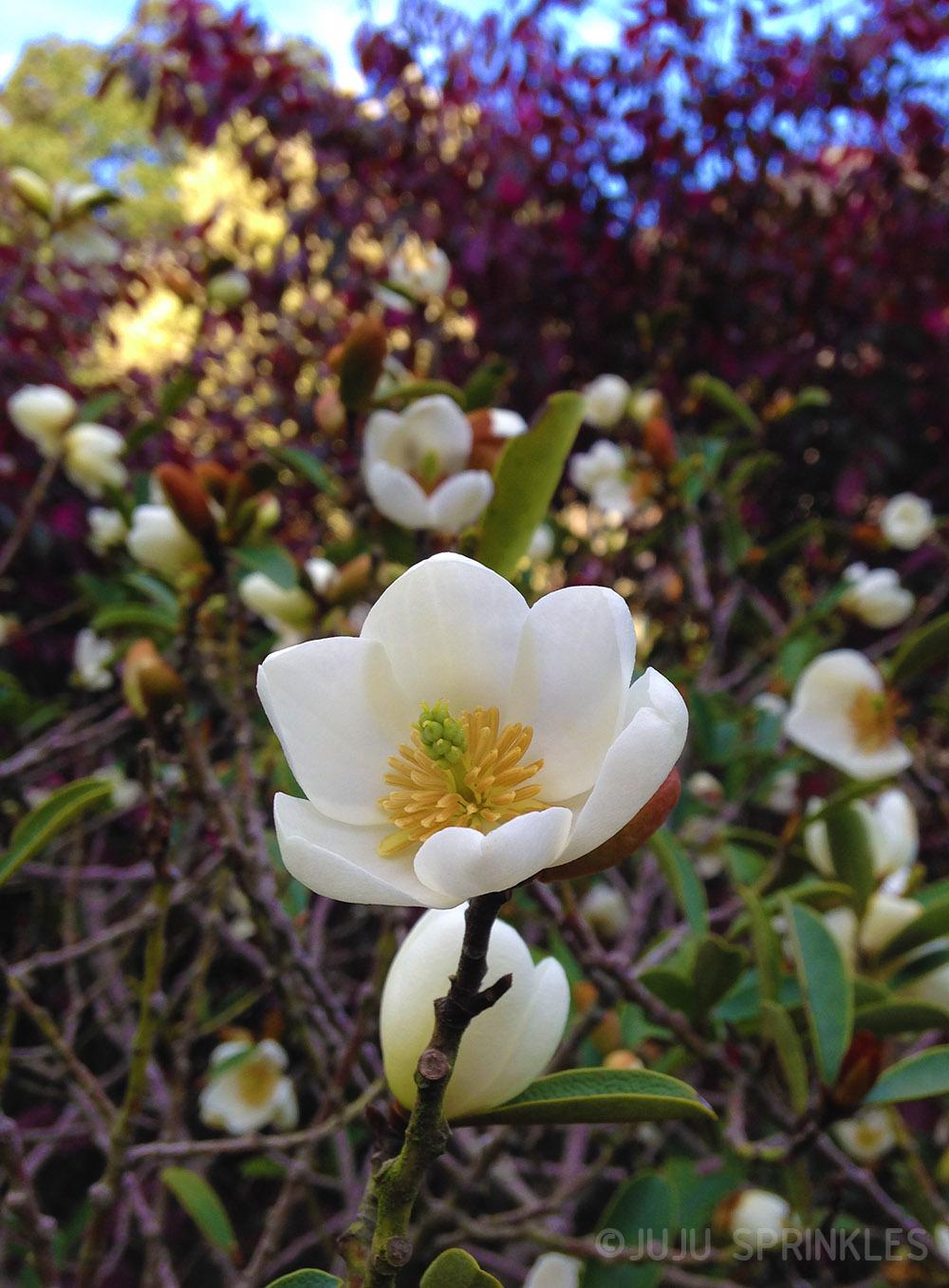 1 Petit Meg Magnolia Original